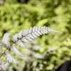 Athyrium niponicum 'Red Beauty'