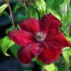 Clematis Hybrid 'Rouge Cardinal'