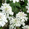 Iberis-sempervirens-Purity