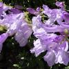 Penstemon F. 'Purple Haze'
