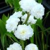 Sagittaria japonica 'Flore Pleno'