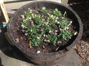 pansies in planter