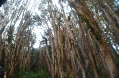 Bosque de Arrayanes