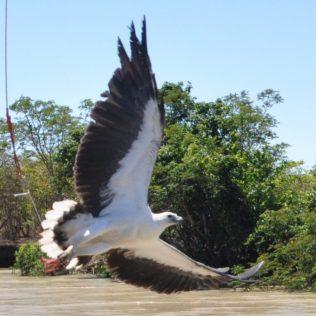 (C) Jule Reiselust: Seeadler beim Anflug auf den Fleischbrocken.