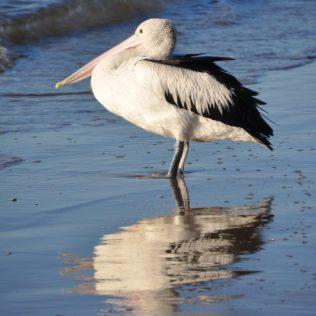 (C) Jule Reiselust: Pelikan bei Hervey Bay/Queensland