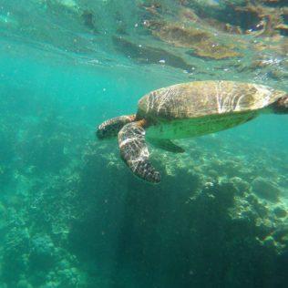 Meeresschildkröte in Coral Bay.