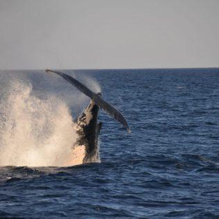 (C) Jule Reiselust: Die verspielten Buckelwaljungen springen aus dem Wasser und zeigen dabei ihre Schwanzflossen.