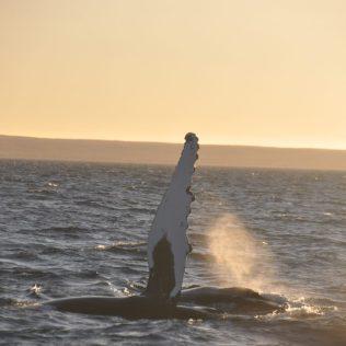 (C) Jule Reiselust: Humpback Whale beim Spiel - die 1 Tonnen sxhwere Seitenflosse wird auf das Wasser geschlagen, dass es schön spritzt.