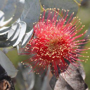 (C) Jule Reiselust: Jules Lieblingspflanze in Westaustralien- die Banksia.