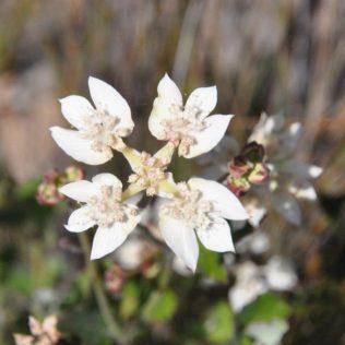 (C) Jule Reiselust: Wildblume und Flaggensymbol - das Southern Cross.