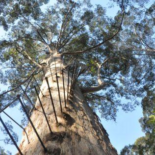 (C) Jule Reiselust: Der Gloucester Tree war einst ein Brandbeobachtungsbaum.