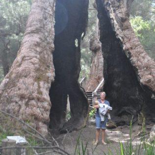 (C) Jule Reiselust: Der Giant Tingle Tree ist von 2 Feuern ausgehölt, aber er lebt.