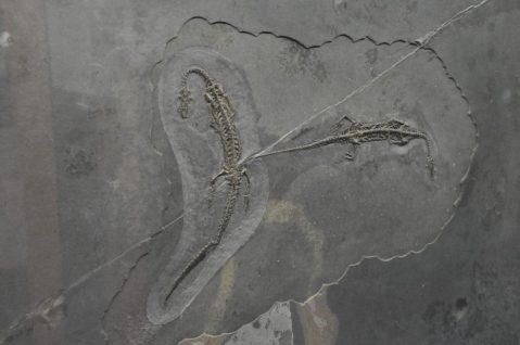 """(C) Jule Reiselust: Fossilien """"kleiner Saurier""""."""