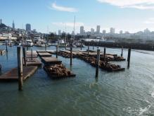 See-Löwen, Pier 39, San Francisco