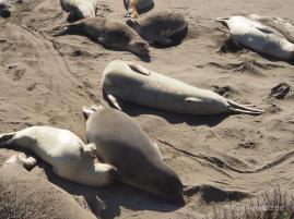 See-Elefanten-Kolonie bei San Simeon, Kalifornien