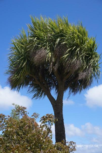 Chiles Palme, die auch Kälte gut erträgt
