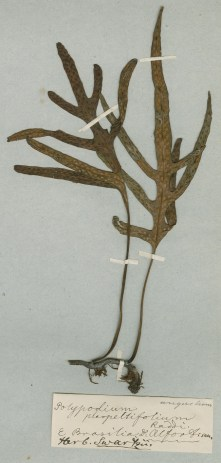 Pleopeltis pleopeltifolia insamlad av Adolf Fredrik Alfort i östra Brasilien.