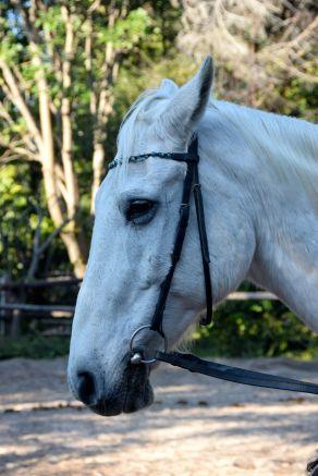 Hästen Fibber