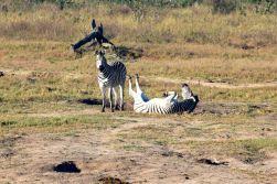 zebror tar morgonbad