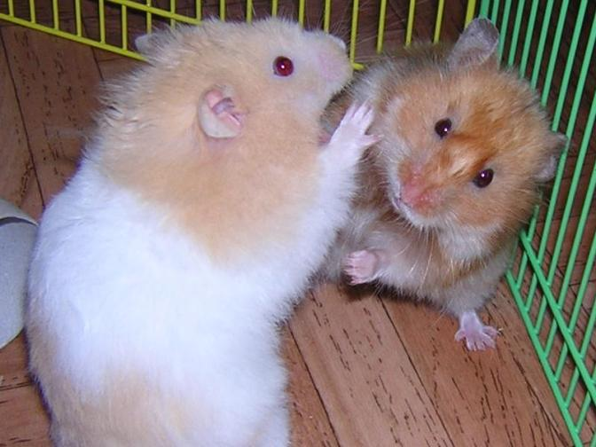how to get and take care of a hamster