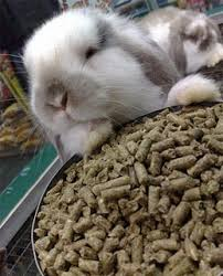 safe angora rabbit food