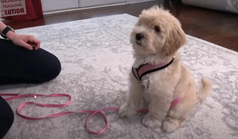 Dog training , teaching a dog all the tricks step by step