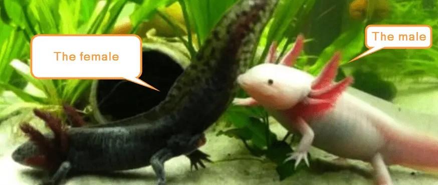 when do axolotls became mature