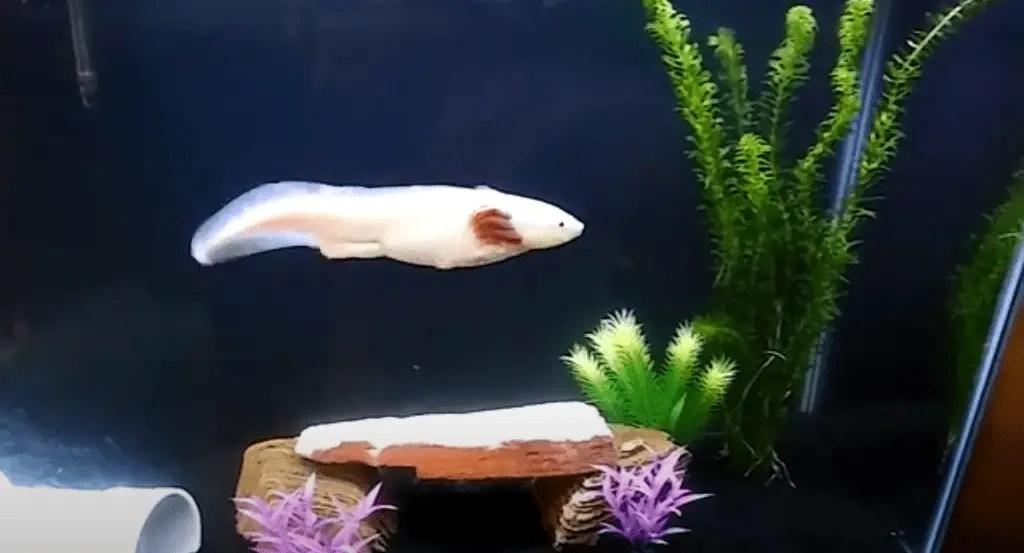 how active should an axolotl be ?