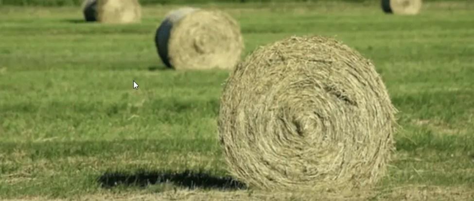 farm hay for guinea pigs ?