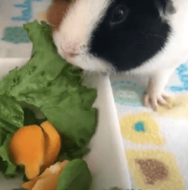 Do guinea pigs need veggies ?