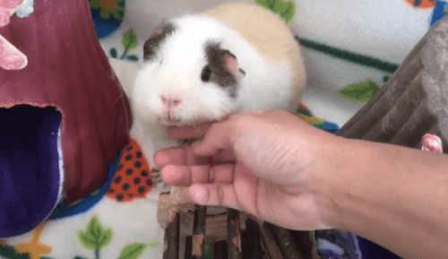 why is my guinea pig biting me hard ?