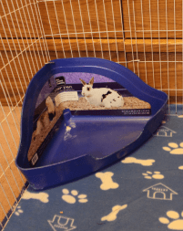 litter box for guinea pig potty training