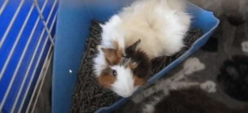 potty training a guinea pig