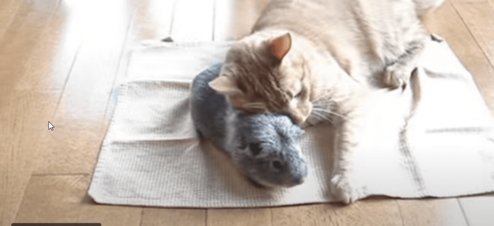 introducing a guinea pig to a cat