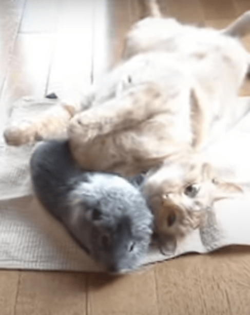 2020 10 21 01 28 19 5 What are some of the best ways to introduce a guinea pig to cats  Quora