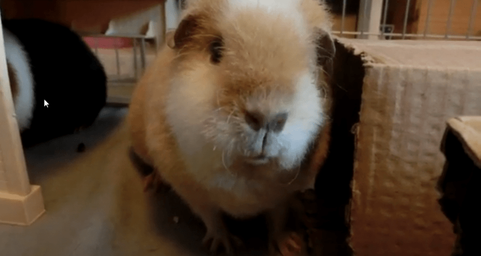 Why is my guinea pig sneezing ?