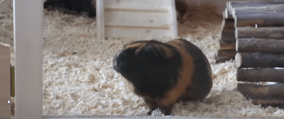 will my guinea pig jump off the bad ?