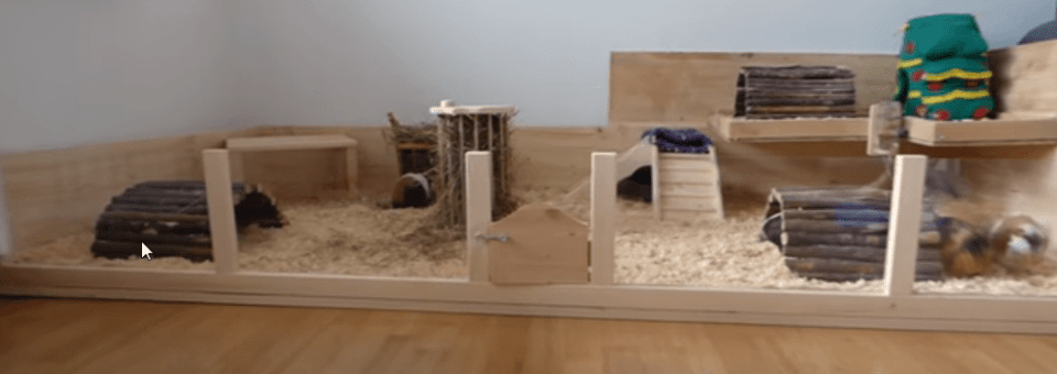 why do guinea pigs fight each other when they are together