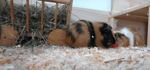 introducing guinea pigs to cats