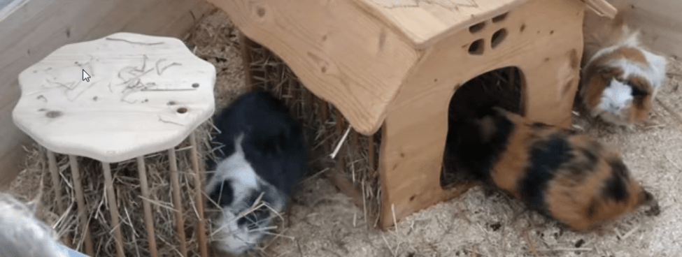 piching the right guinea pig