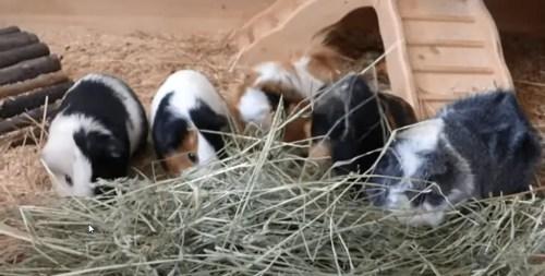 guinea pigs as pet