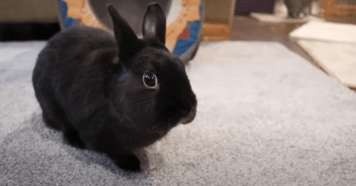 do rabbits smell and how to avoid bad smell in pet rabbits ?
