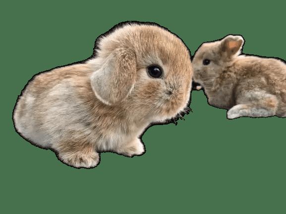 Best beginner rabbit breed