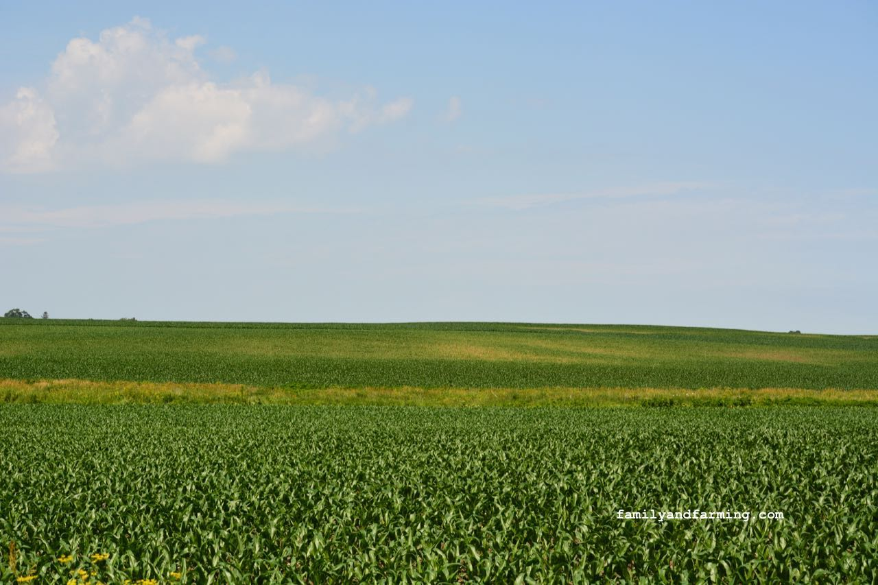 A corn field with irregular growth
