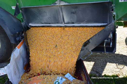 Unloading Corn out of a Wagon
