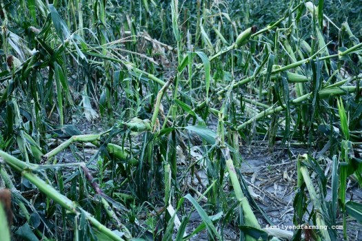 Twisted Corn From 2020 Derecho