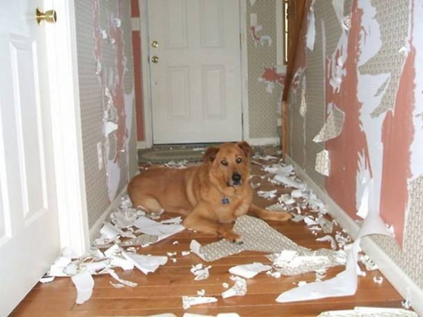 dog with separation anxiety severely damages home