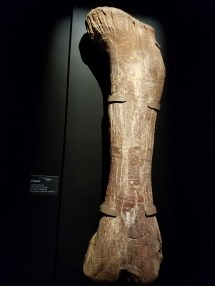 The femur was so huge!
