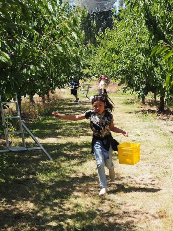 Queenstown cherry picking girl running
