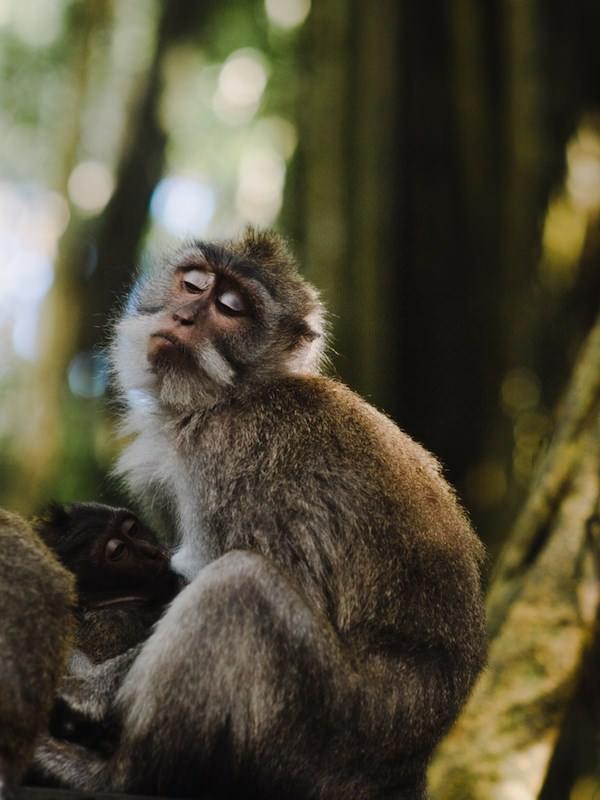 Monkey Ubud Bali Rabies